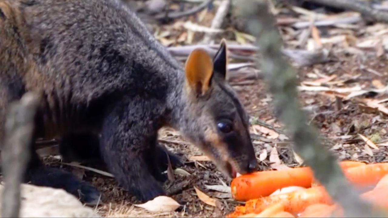 Australië dropt voedsel voor kangoeroes in verbrande gebieden