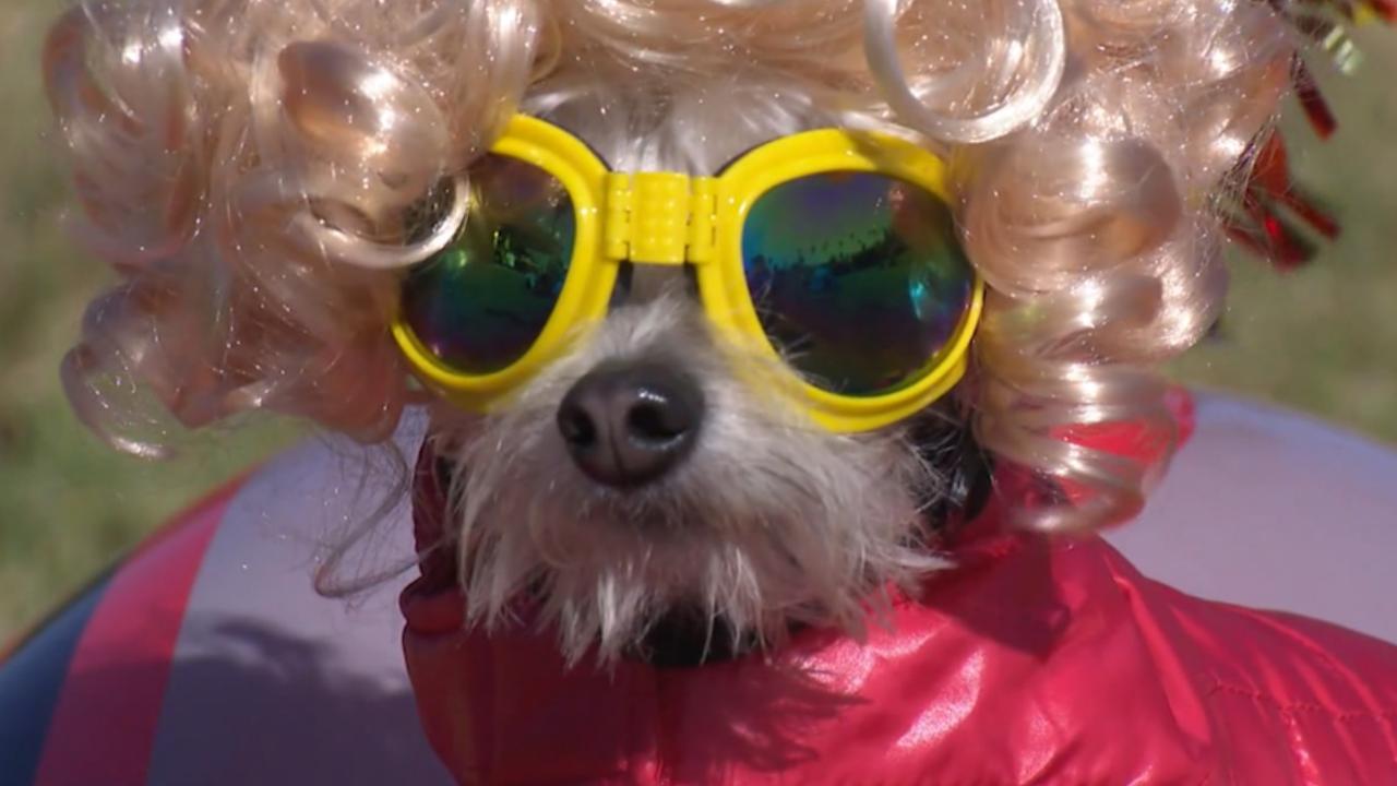 Halloween Filmpjes Nederlands.Verklede Honden Vieren Halloween In Chicago Nu Het