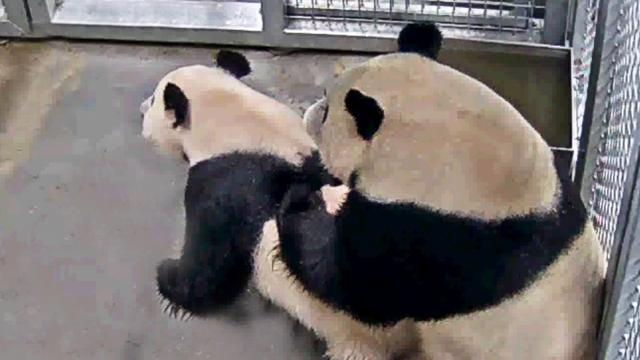 Langverwachte paring tussen Chinese panda's in Ouwehands Dierenpark