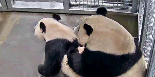 Langverwachte paring tussen Chinese panda's in Ouwehands Dierenpark