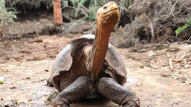Reuzenschildpad Diego redde zijn hele soort (en gaat nu met pensioen)