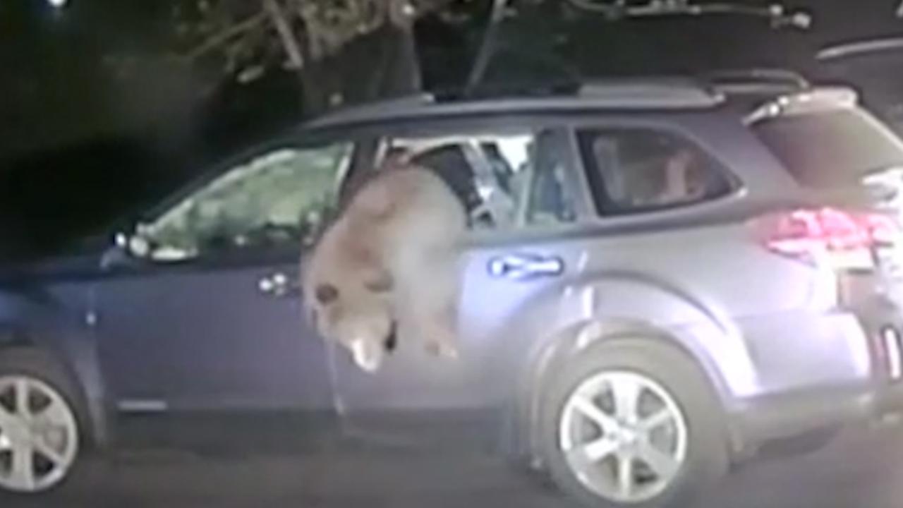 Agent slaat autoruit in om beer te bevrijden in Californië