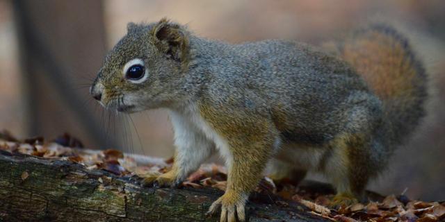 Eekhoorns leven langer als ze 'goede buren' hebben