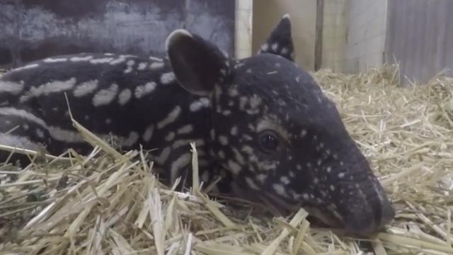 Diergaarde Blijdorp deelt eerste beelden pasgeboren Maleise tapir