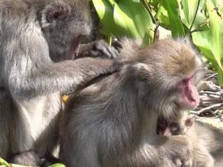 Krabbende makaken worden minder snel aangevallen