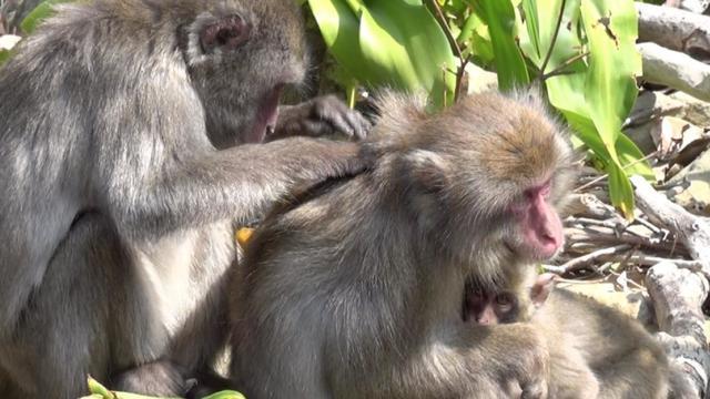 Apen in Indonesië ruilen gestolen spullen voor voedsel