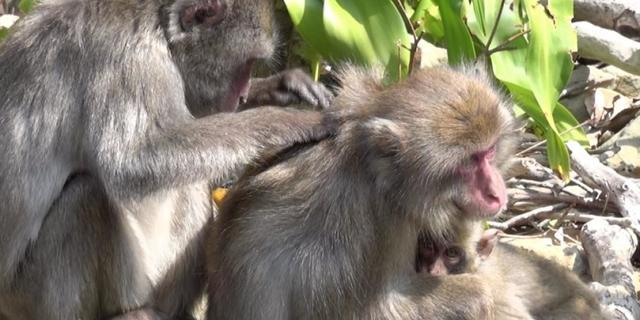 'Krabben is sociaal vredessignaal bij apen'