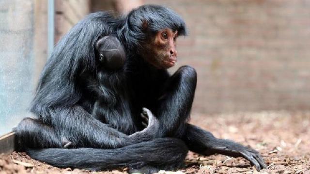 Zeldzame zwarte slingeraap ziet levenslicht in Artis
