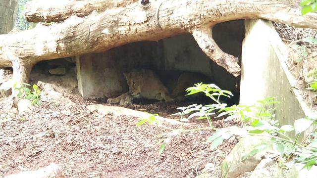 In Burgers' Zoo zijn twee leeuwtjes geboren