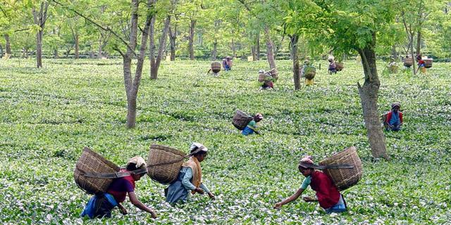 'Werkomstandigheden theeplukkers Unilever nog steeds ondermaats'