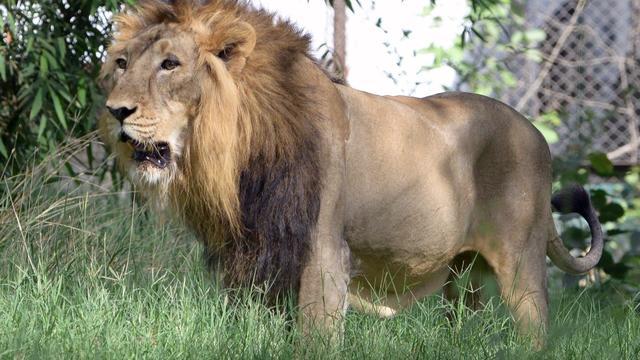 Schutter beroemdste leeuw van Zimbabwe ondergedoken