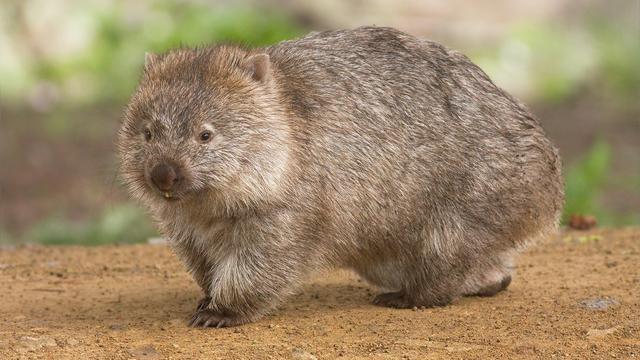 Dronken Australiërs rijden wombats dood