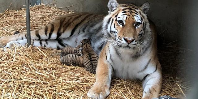 Drie zeer zeldzame Siberische tijgers geboren in Safaripark Beekse Bergen