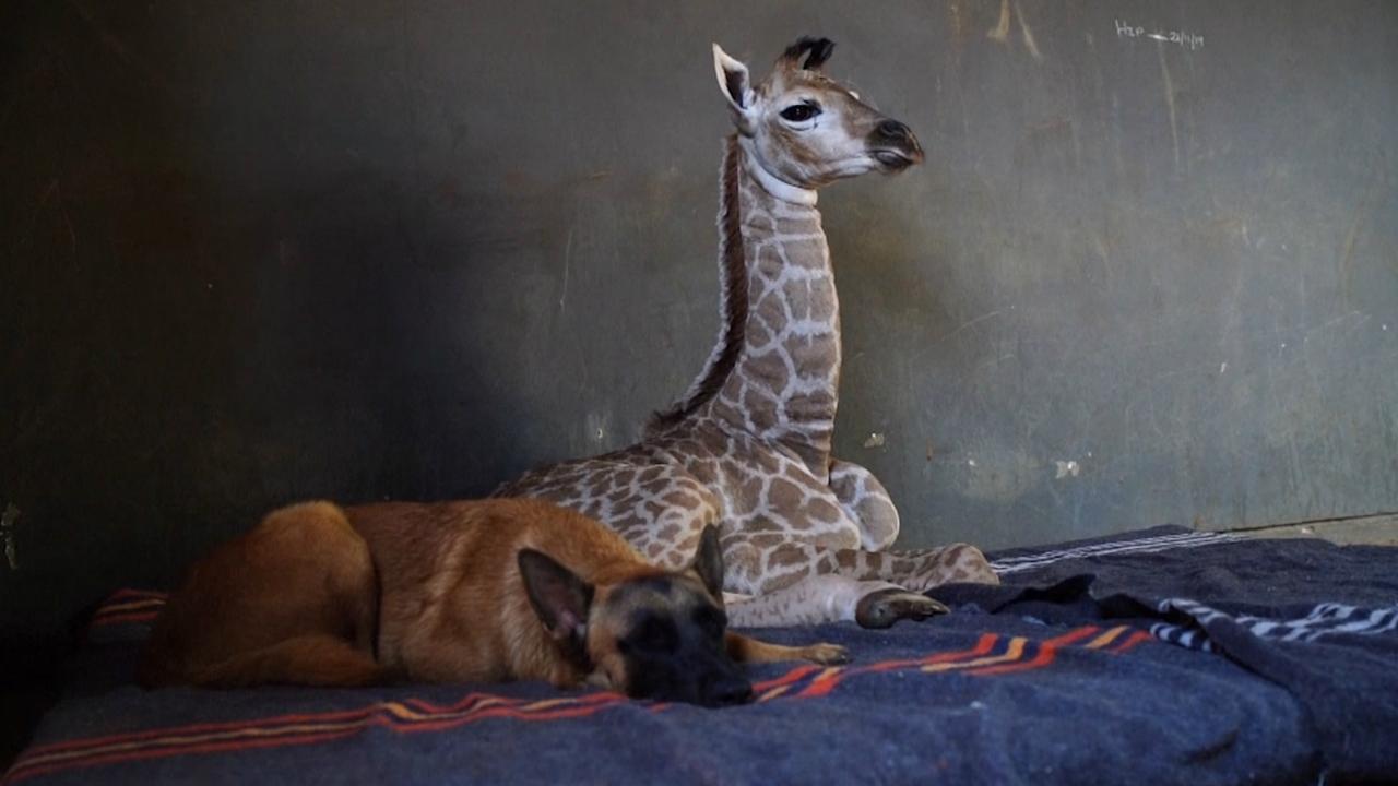Achtergelaten babygiraffe wordt verzorgd door een hond