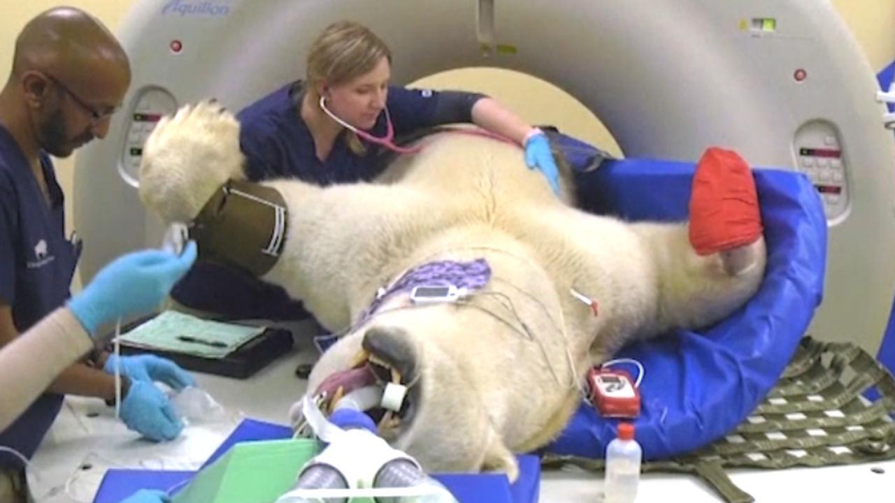 IJsbeer van 450 kilo ondergaat CT-scan in de VS