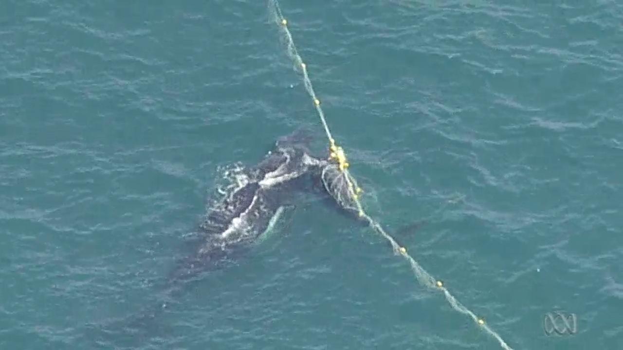 Walvis 'bewaakt' jong terwijl kustwacht dier bevrijdt
