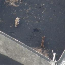 Door lava ingesloten honden op La Palma blijken al gered door onbekenden