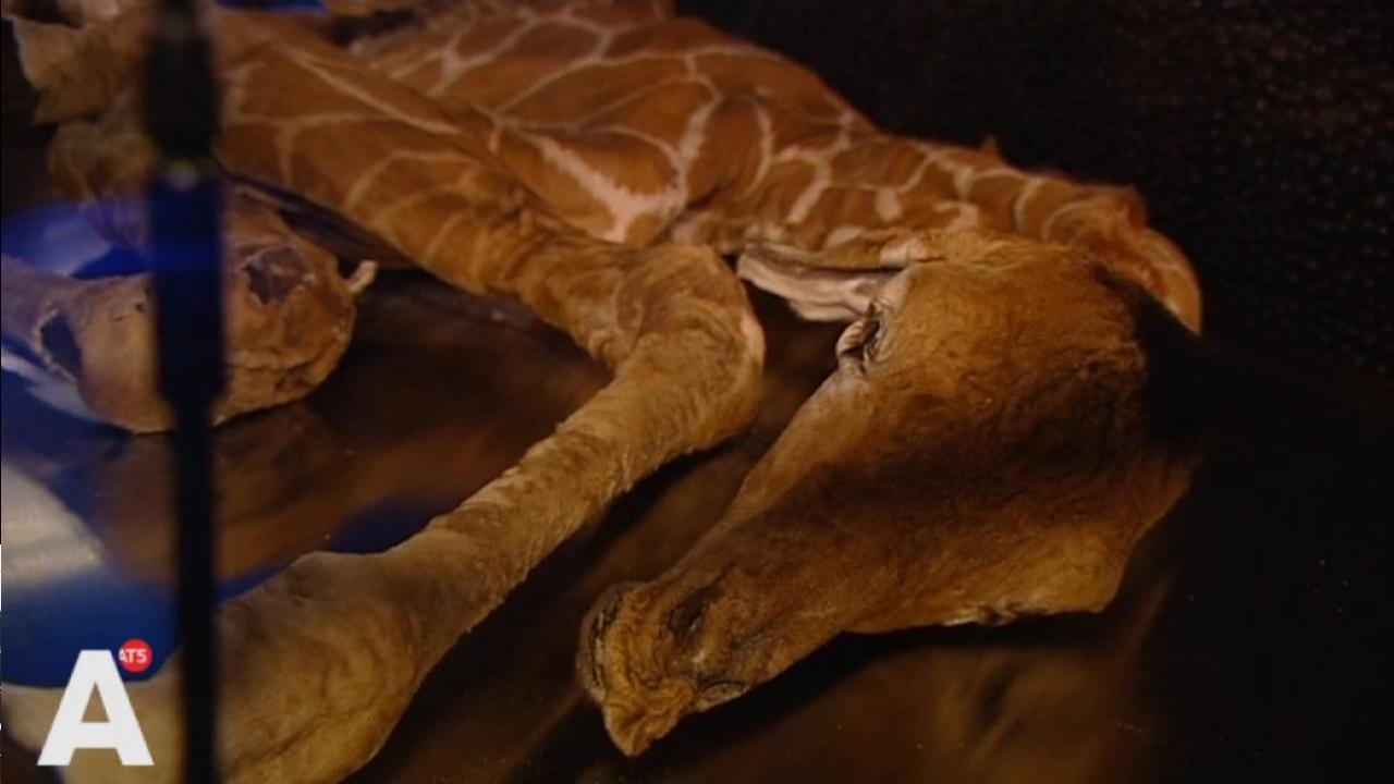 Gestorven giraffeveulen te zien in Artis