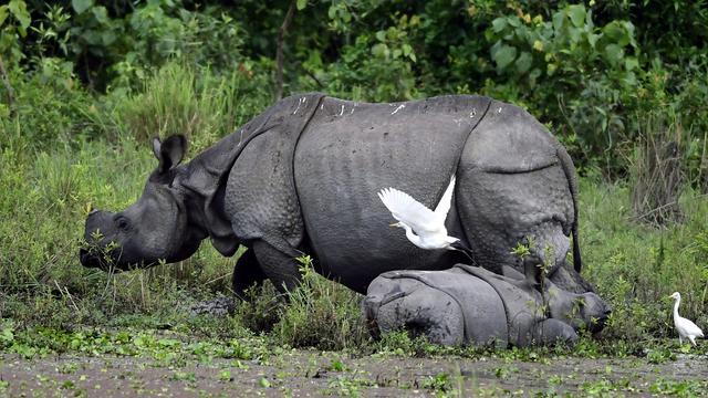 Twee zwarte neushoorns vijf maanden na overplaatsing gestorven in Tsjaad