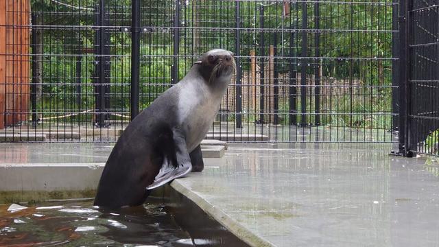 Zeeberen komen naar Nederland, want Engelse dierentuin stopt door corona