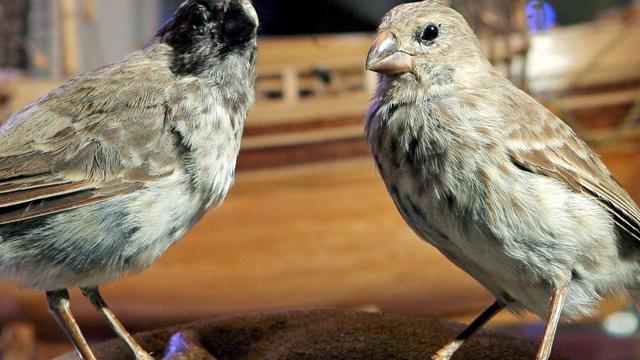 Darwinvinken met uitsterven bedreigd op Galapagoseilanden
