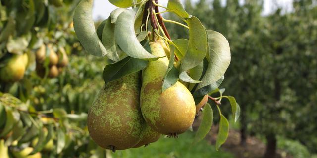 Gemeente Breda geeft 800 perenbomen weg om stad groener te maken