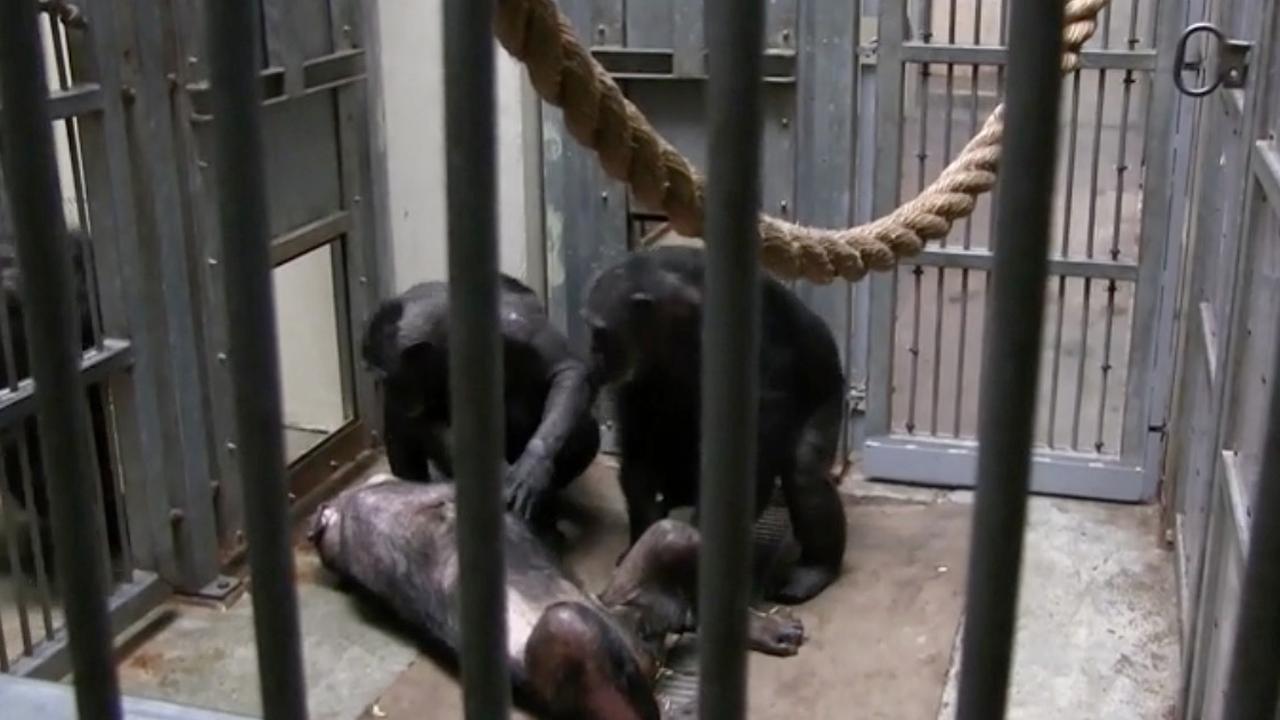 Verdrietige Chimpansees nemen afscheid van Mama (59)