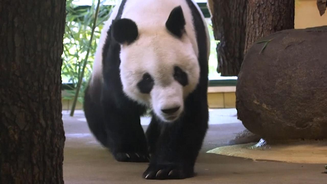 Reuzenpanda zet eerste stappen in Weense dierentuin