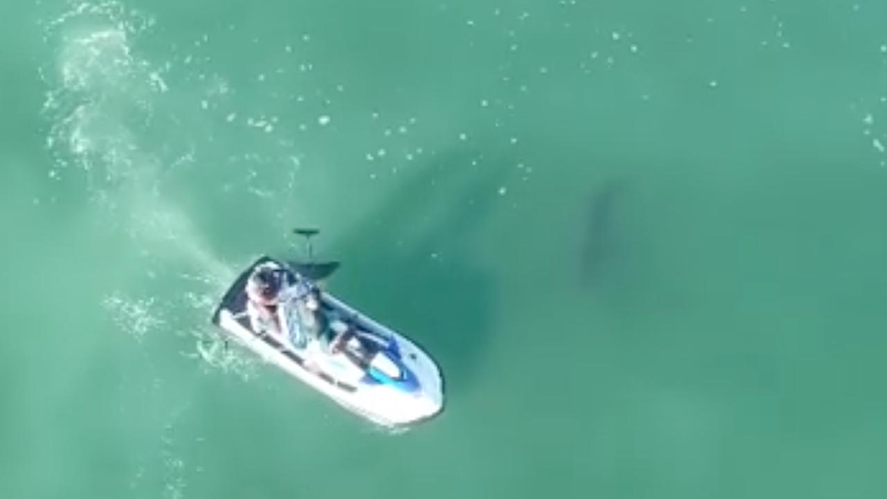 Witte haai zwemt opvallend dicht bij surfers in Californië
