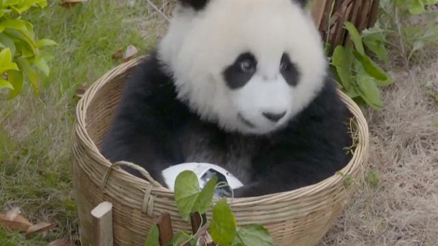 Panda's spelen harige 'voetbalwedstrijd' in China