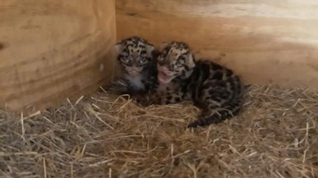 Opnieuw nevelpanters geboren in Ouwehands Dierenpark