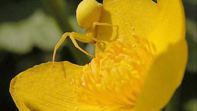 Krabspinnen lokken insecten door zonlicht te weerkaatsen