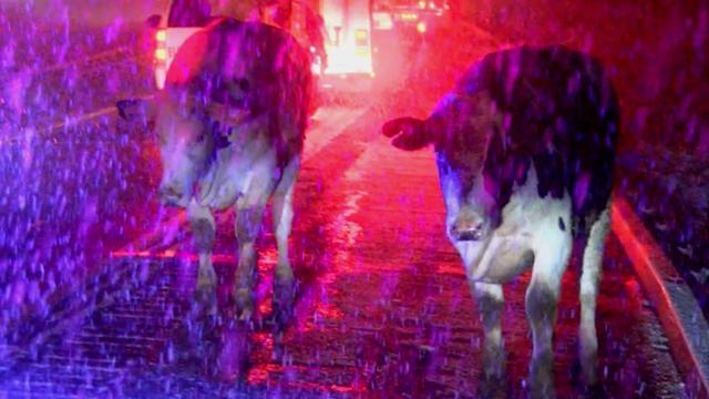 Koeien rennen over snelweg New York na ongeluk veewagen