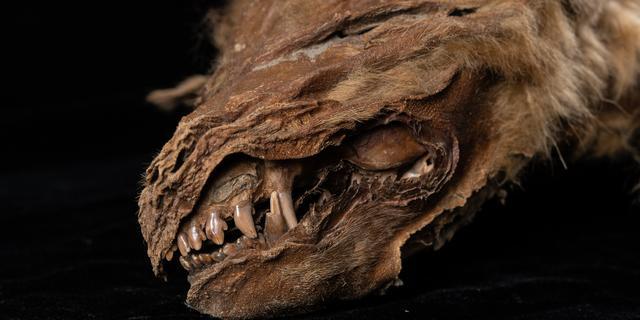 57.000 jaar oude wolvenpup in Canada ontdooid uit ijs, dier vrijwel intact