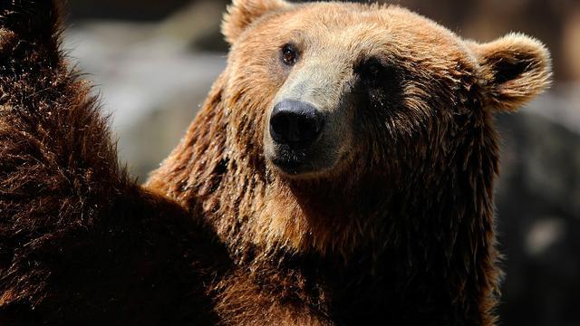 Bouwvakkers graven per ongeluk levende beer op in Turkije