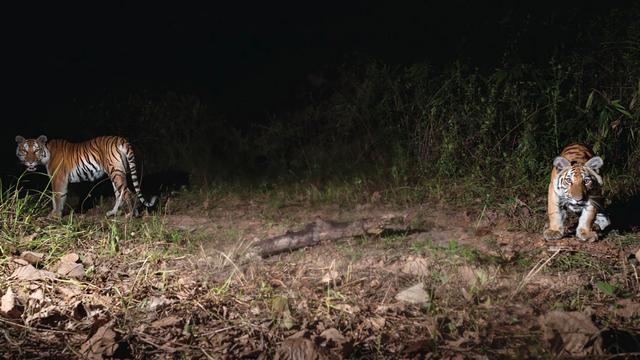 Nieuwe populatie van bijna uitgestorven Chinese tijgers ontdekt