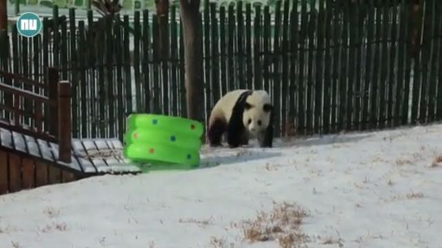 Pandabeer Sijia dolblij met sneeuw