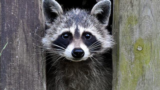 Stad in Amerikaanse staat Ohio geteisterd door 'zombie-achtige' wasberen