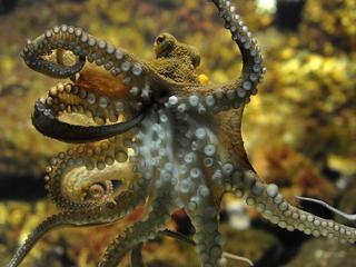 Inktvis zonder skelet kan tot een meter lang worden