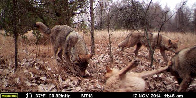 'Roofdieren floreren in meest radioactieve gebieden van Tsjernobyl'