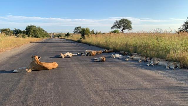 Leeuwen slapen door lockdown op de weg in Zuid-Afrikaanse Kruger Park