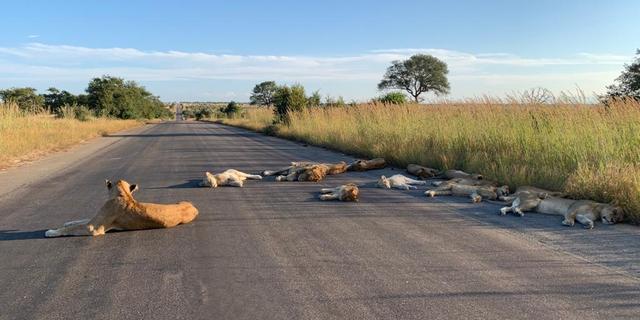 Leeuwen slapen door lockdown op de weg in Zuid-Afrikaans Kruger Park