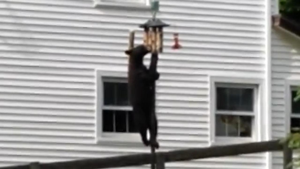 Zwarte beer in Connecticut klimt in paal om vogelvoer te eten