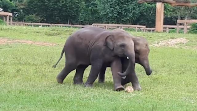 Babyolifanten spelen voetbal in een Thais dierenpark
