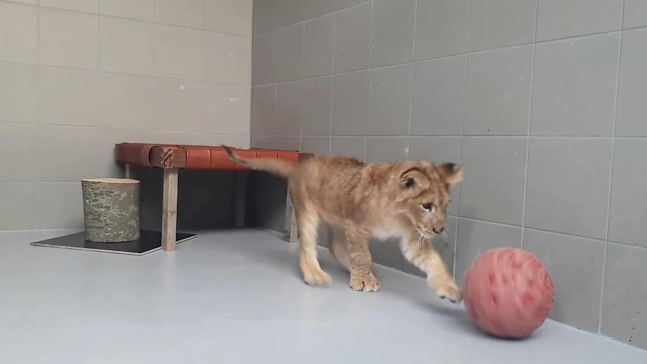 Gevonden leeuwenwelp maakt het goed in Nederlandse opvang