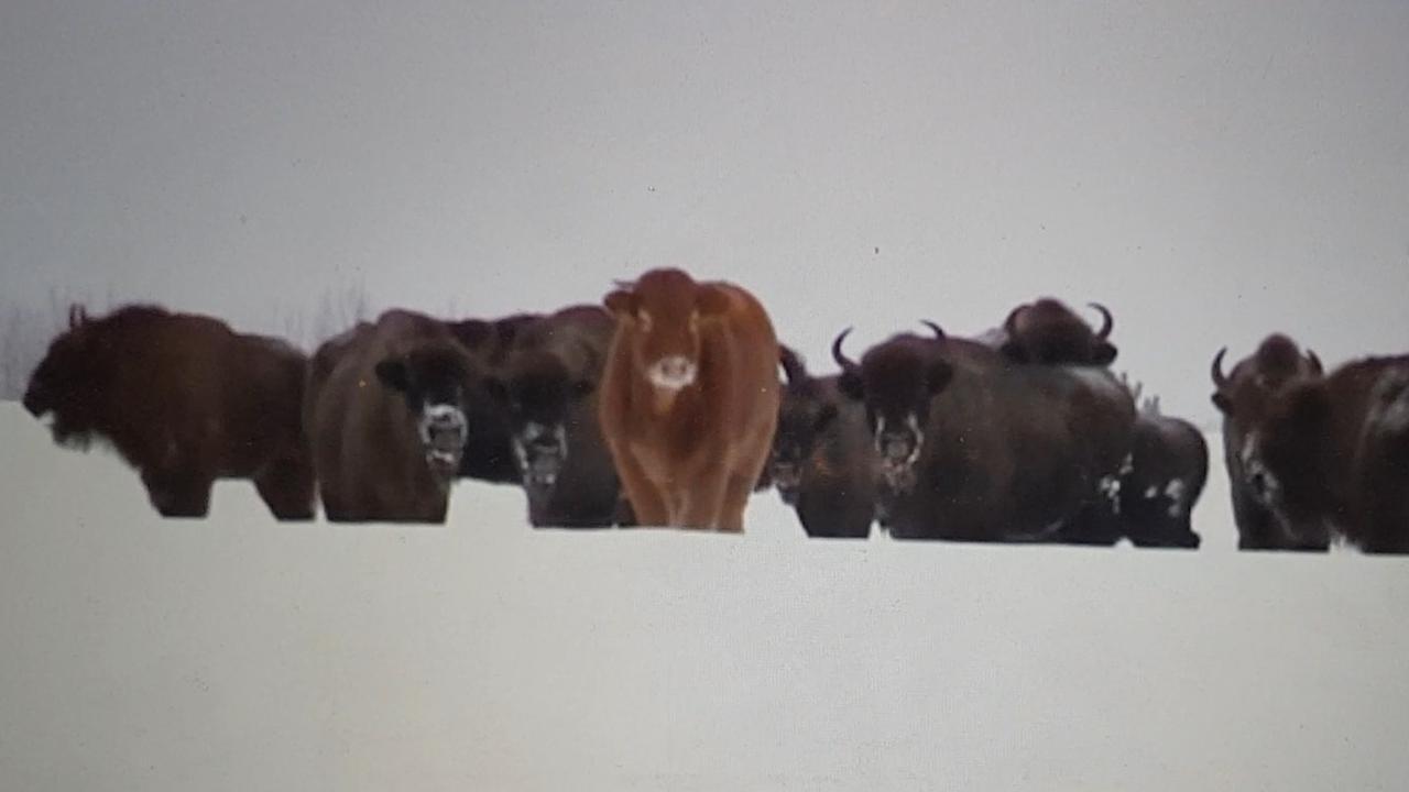 Ontsnapte koe in Polen sluit zich aan bij kudde wilde bizons