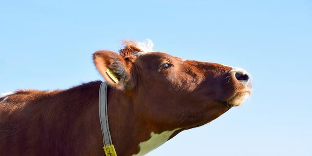 Koe na uren uit water gered bij Vlietweg in Voorschoten