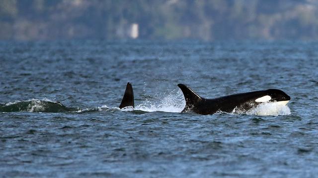 Spanje legt deel zeilsport stil vanwege speelse orka's