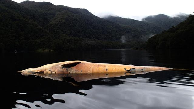 Beschermde walvissen dood op Chileense kust