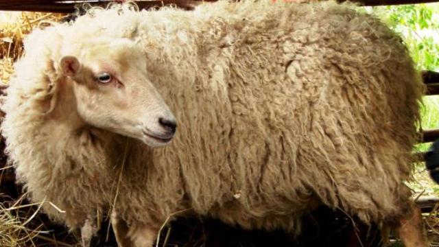 'Schaap afgeslacht op Groningse kinderboerderij'